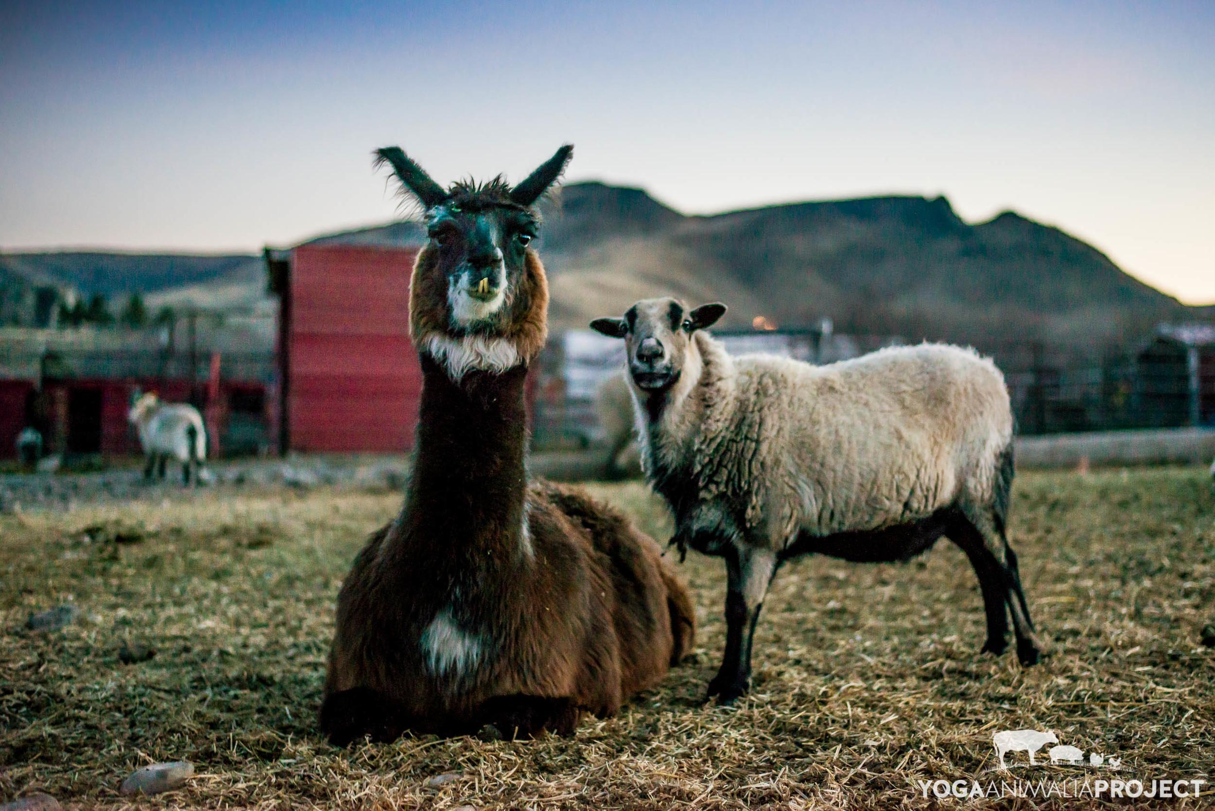 Bandit and Rose, Ching Farm Rescue and Sanctuary, Herriman, Utah