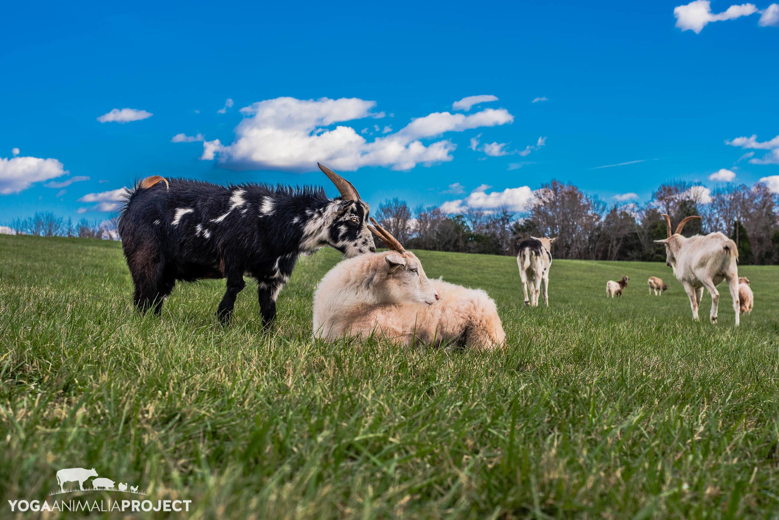 Napoleon and Sadie, Poplar Spring Animal Sanctuary, Poolesville, Maryland