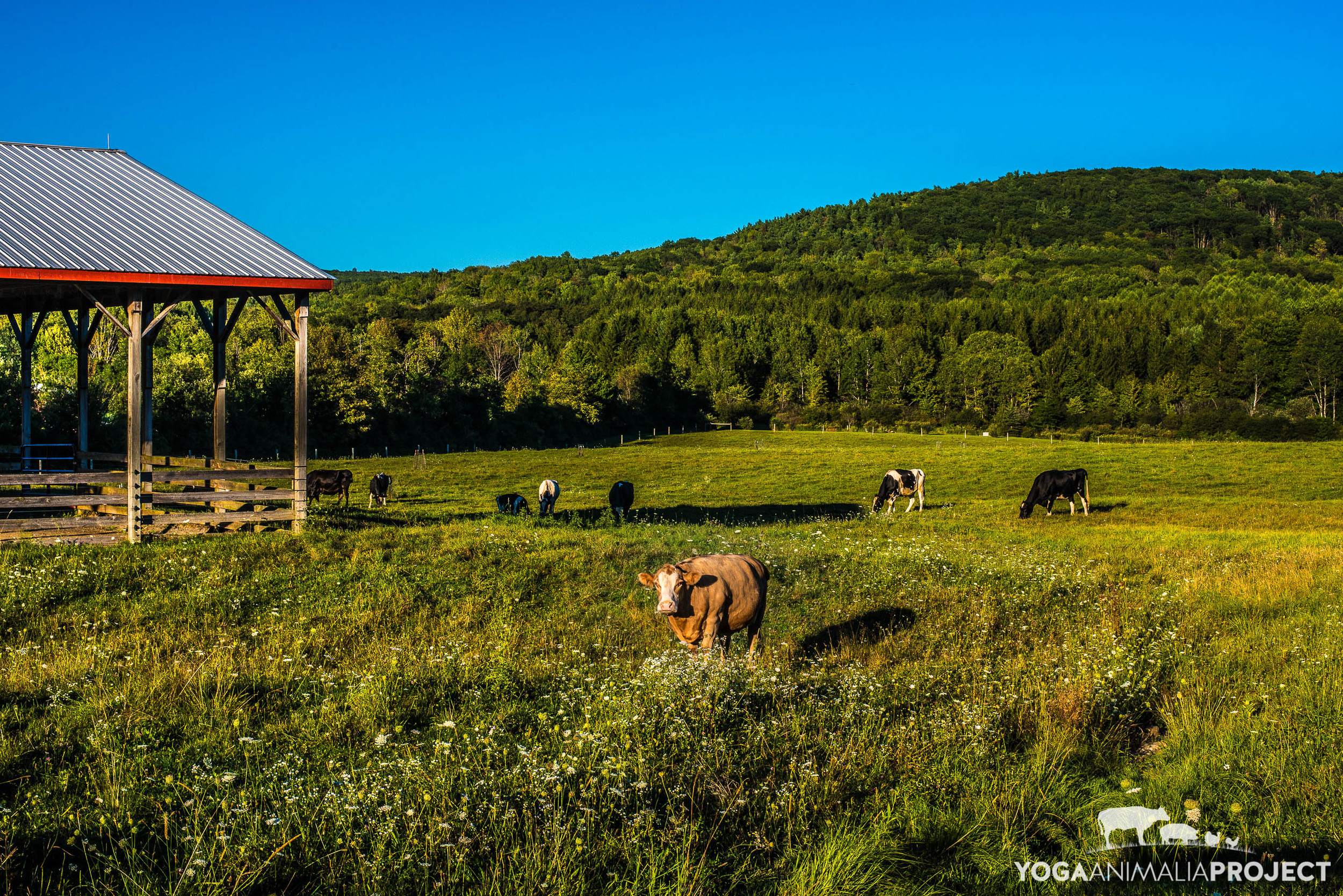 Ashley, Farm Sanctuary, Watkins Glen, New York