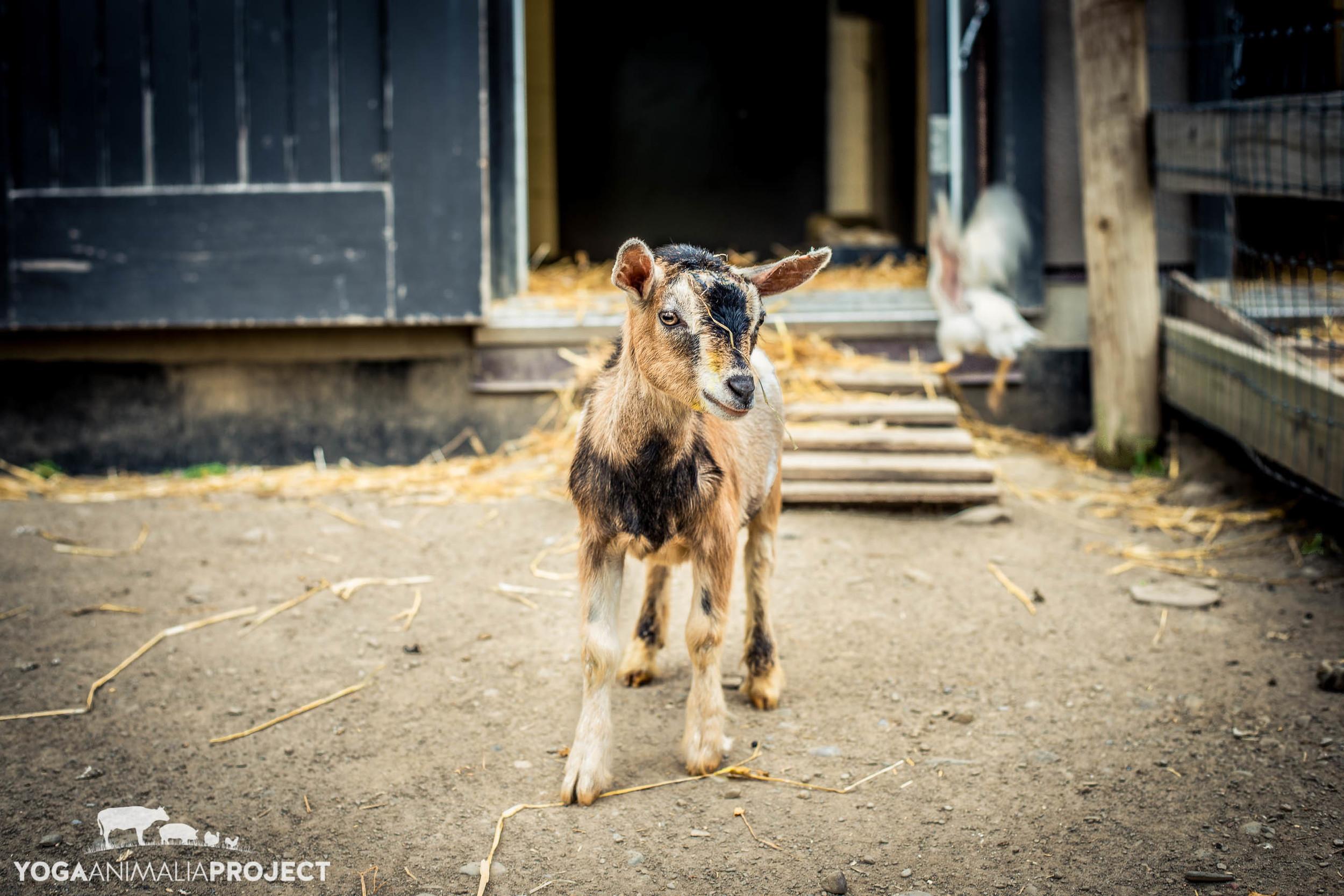 Avery, Farm Sanctuary, Watkins Glen, New York