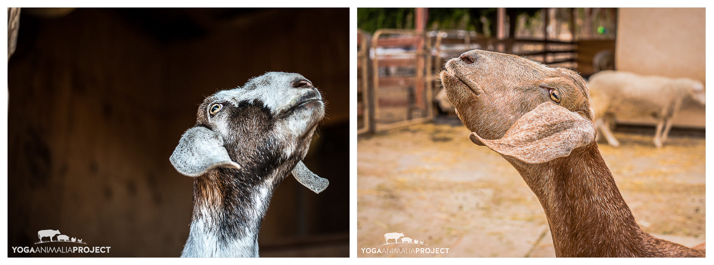 Molly & Maria -two peas from very different pods, Farm Sanctuary's Animal Acres, Acton, California