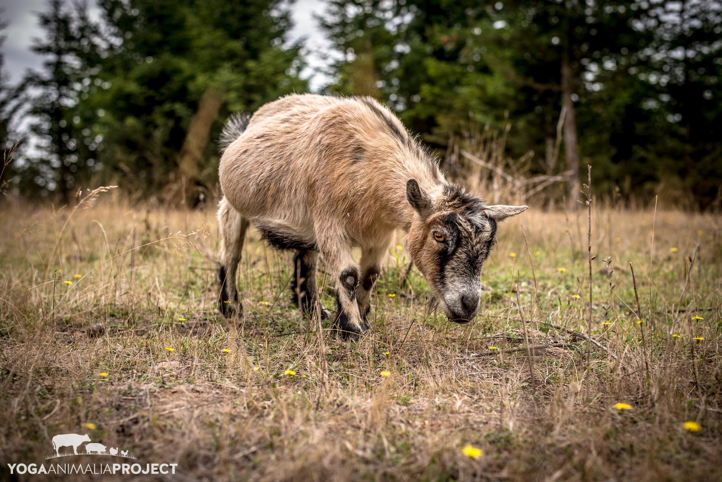 Fauna - the grass was greener until the goats got it, Green Acres Farm Sanctuary, Silverton, Oregon