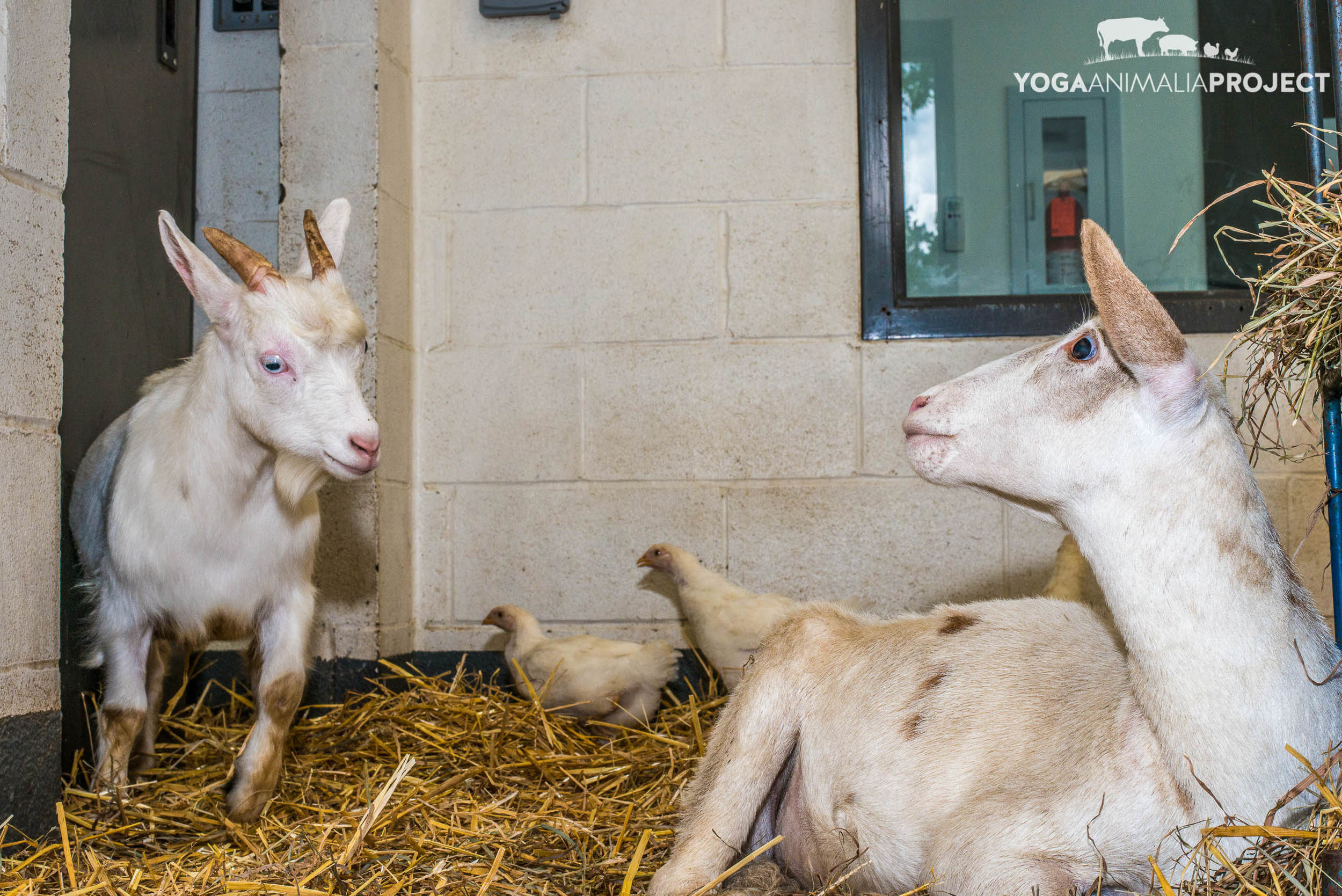 Levi & Romy playing with the Postal Peeps in their stall in the Melrose Small Animal Hospital, Farm Sanctuary, Watkins Glen, New York