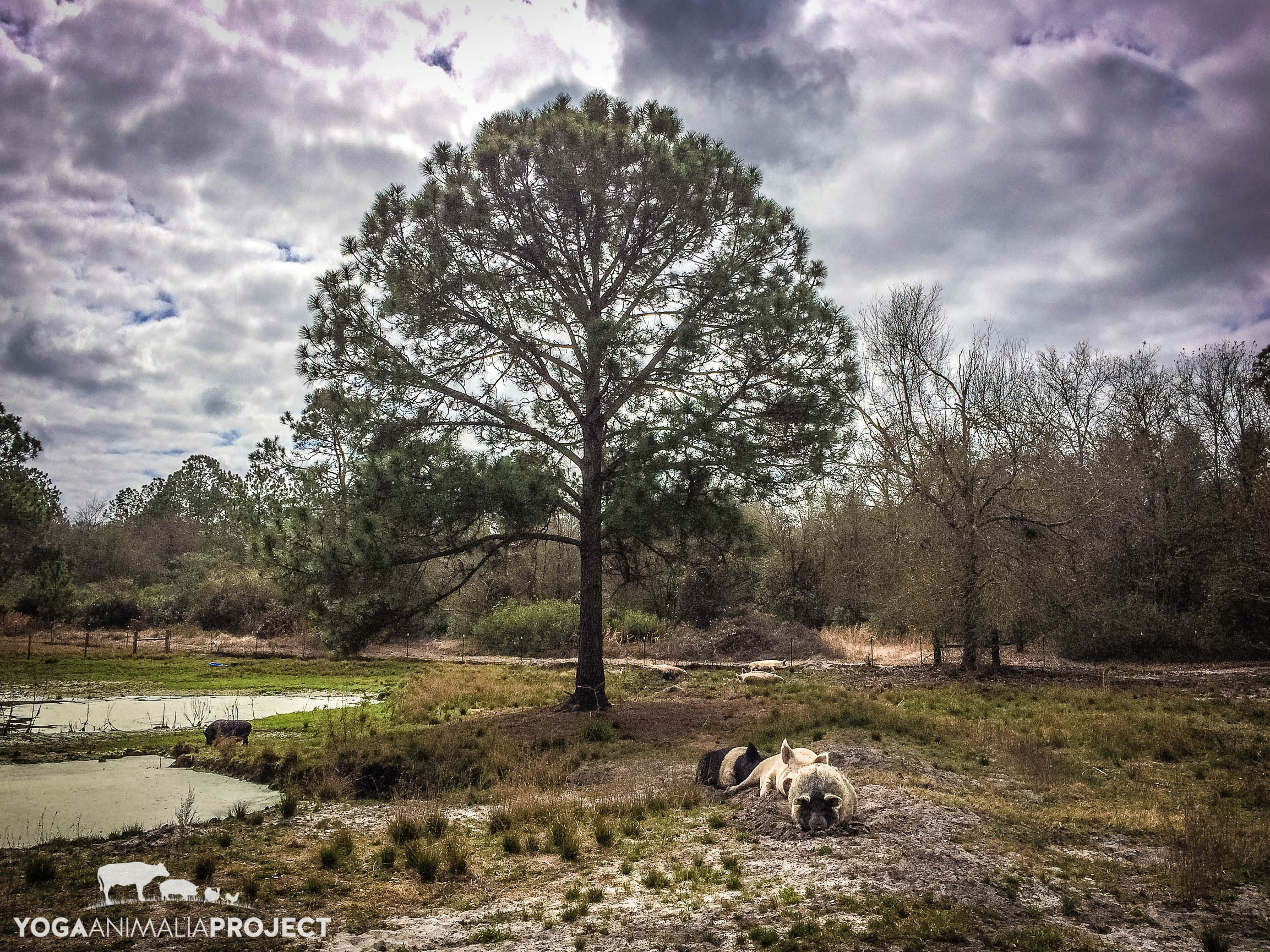 Pigs & Clouds, Rooterville, A Sanctuary, Melrose, Florida