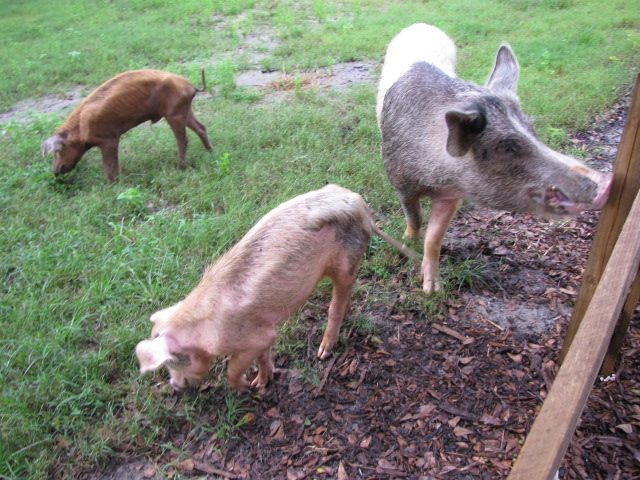 Sampson, Logain, and Daddy overjoyed to have grass to eat after their rescue and arrival at Rooterville. Photo courtesy Rooterville Facebook.
