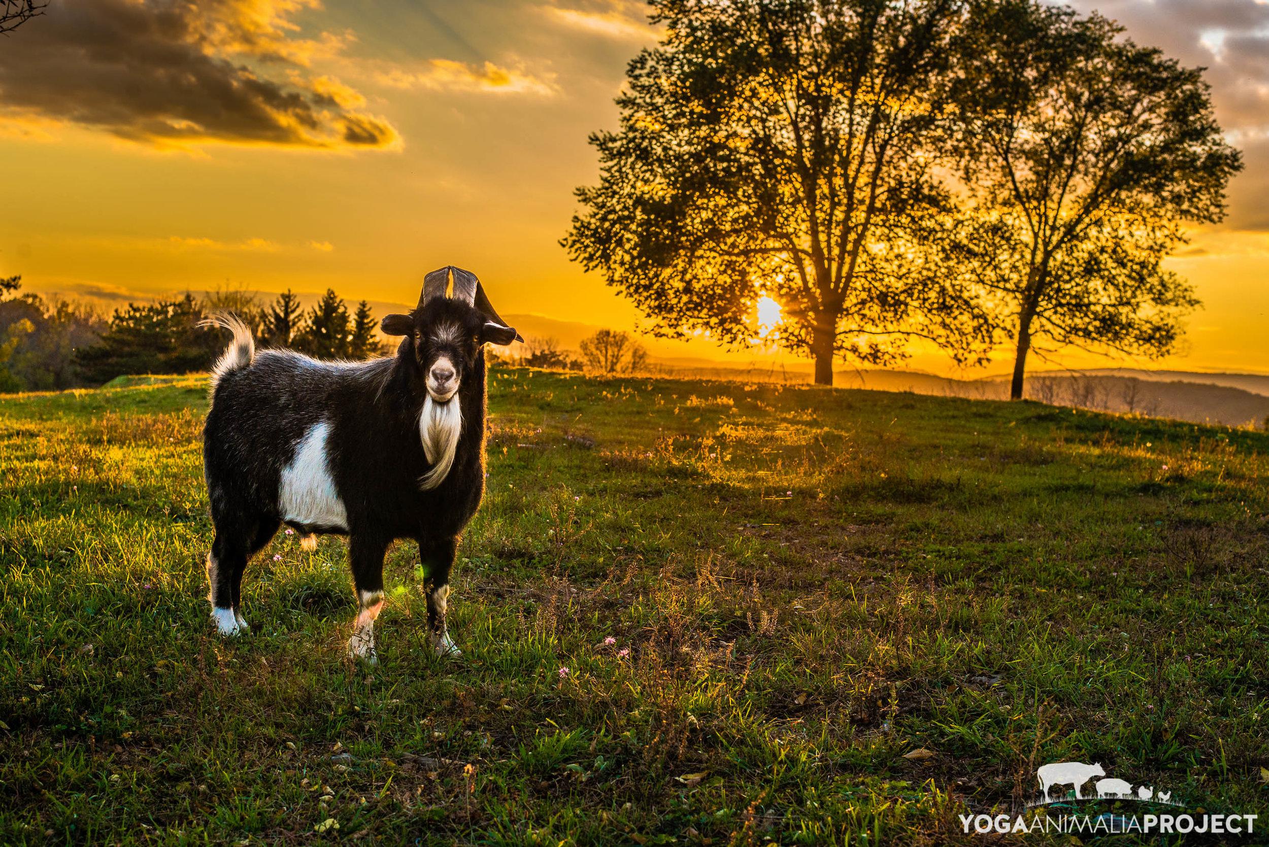 Yoga Animalia: Caprine - Jack, Skylands Animal Sanctuary & Rescue, Wantage, New Jersey