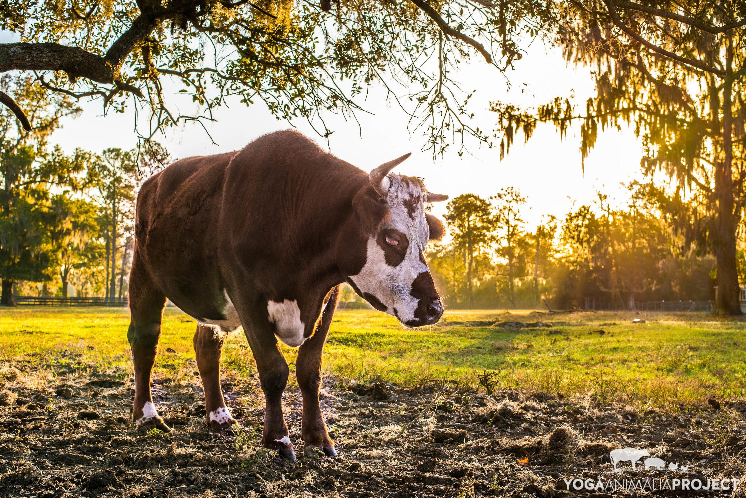 Yoga Animalia: Bovine -Owen, Kindred Spirits Sanctuary, Ocala, Florida