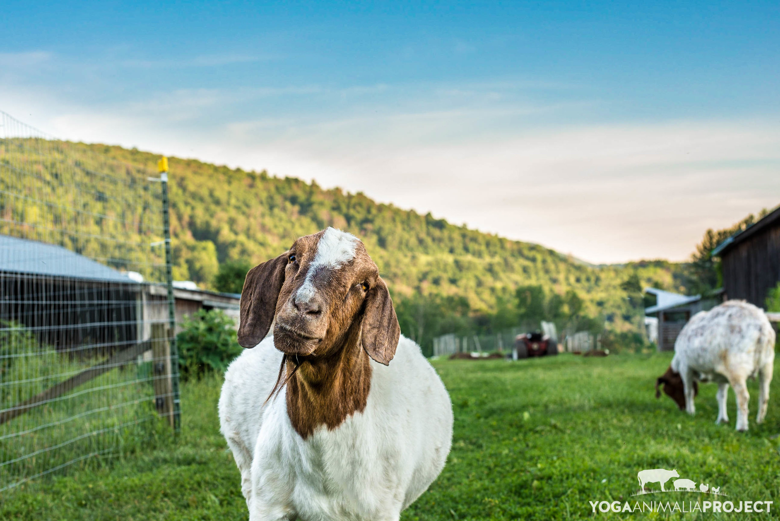 Vanna goat with her partner in crime Maddie in the rear, Indraloka Animal Sanctuary, Mehoopany, Pennsylvania