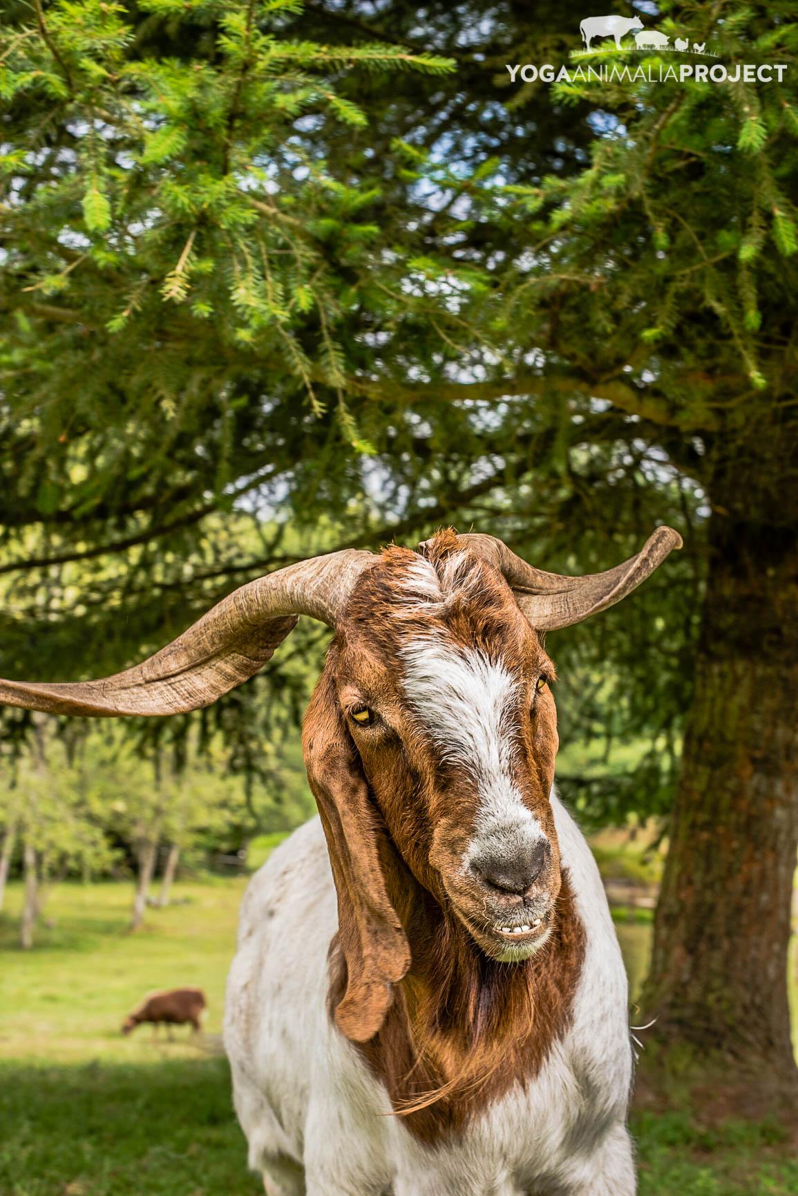 Jake, New Moon Farm Goat Rescue & Sanctuary