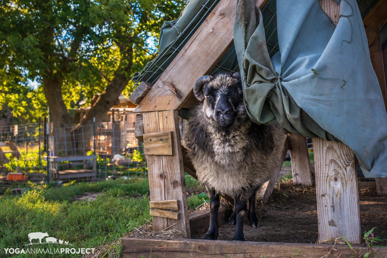 Heartland Farm Sanctuary Yoga Animalia Project