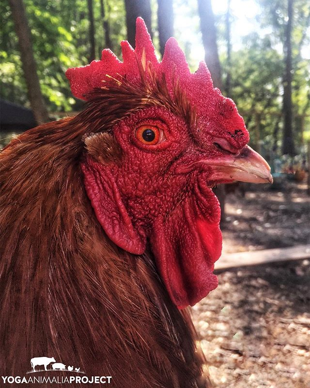Yoga Animalia: Galline - Loki Sanctuary Moon, Lowell, Michigan @sanctuarymoonmi  For the love of roosters. Loki is sitting on my lap in this photo, because why wouldn't he be? 😅 Chicken people are some of my favorite people.