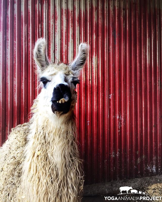 Yoga Animalia: Camelid - Ginny Erin's Farm, Hobart, Indiana @erinsfarm  Catching up with recent sanctuary visits: my first time visiting Erin's Farm, and I fell in love with Ginny.