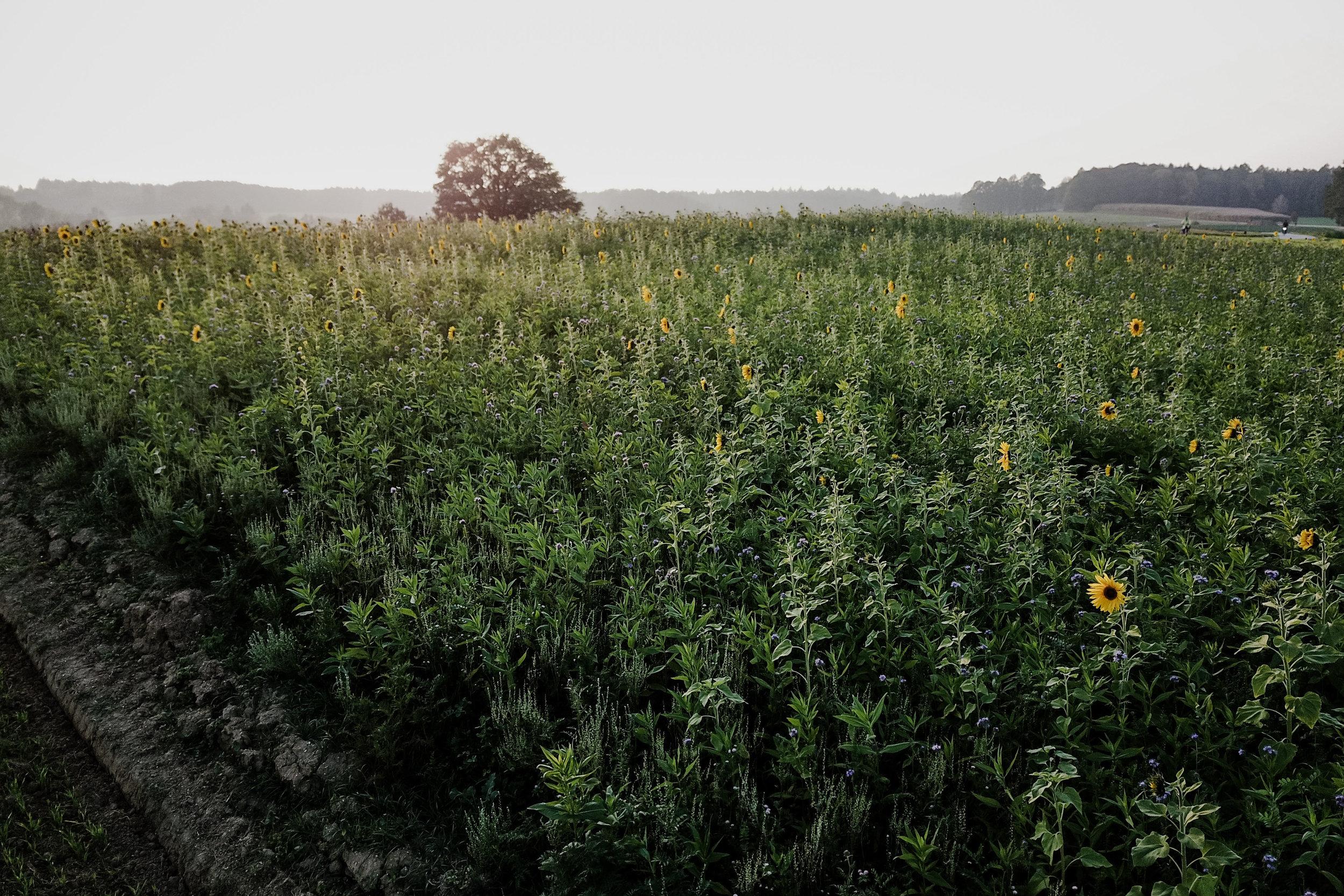 Sonnenblumenfeld, Freising, Drohnenaufnahme