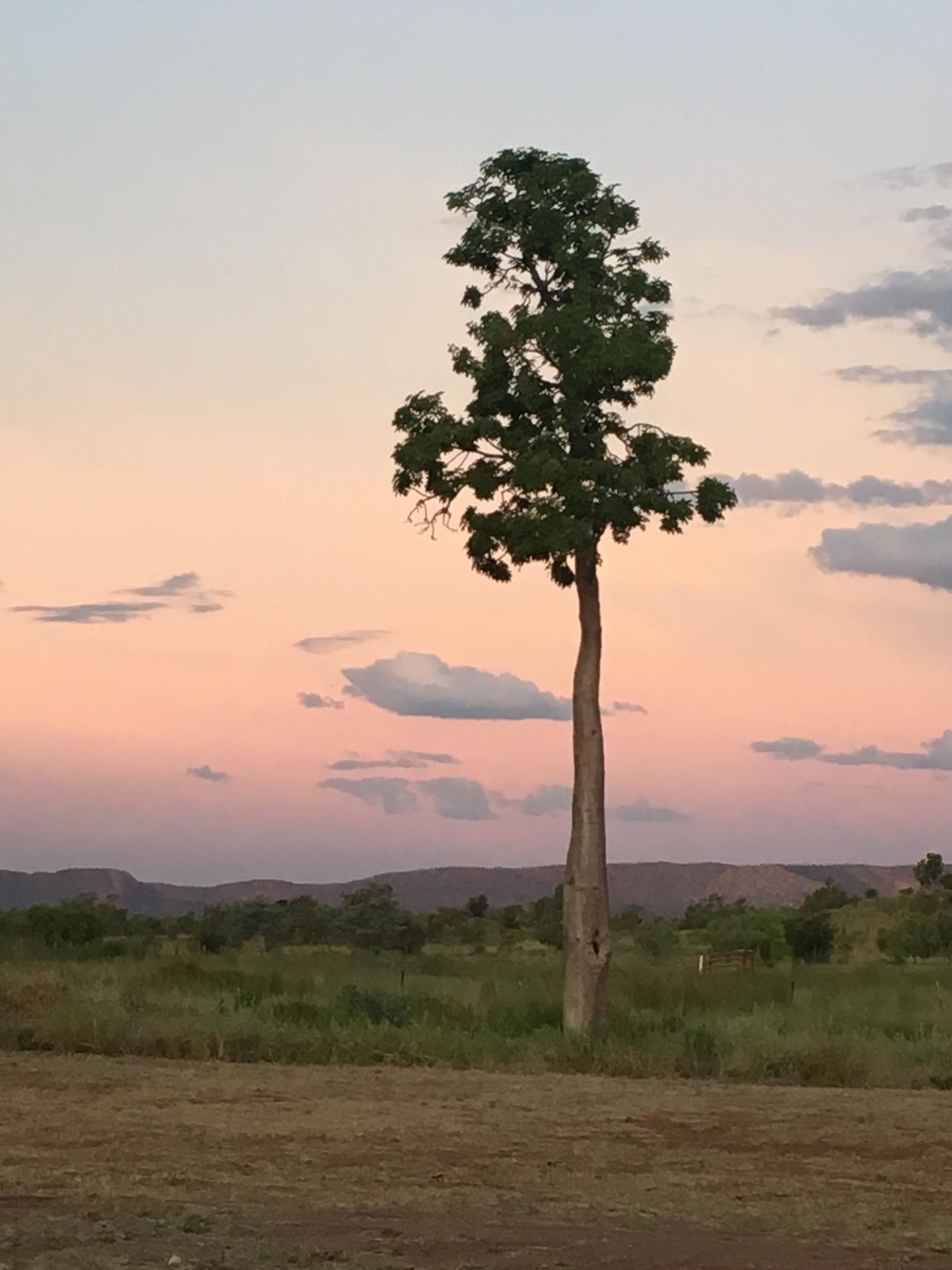 Boab Tree_Warmun.jpg
