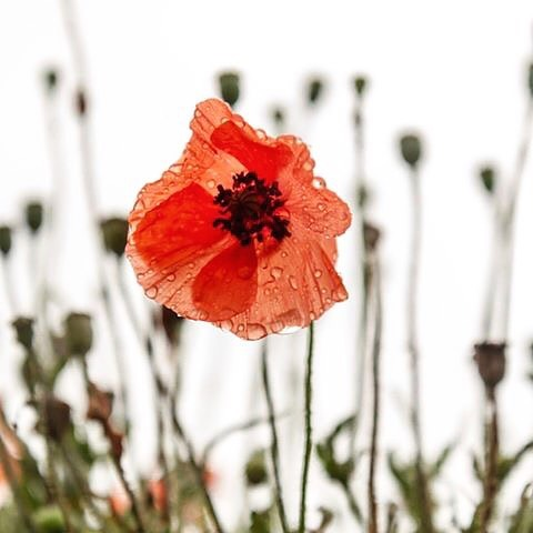 With respect... BARBADOS Port Douglas will be closed ANZAC DAY - Thursday 25th April 2019. Lest we forget ❤️ #anzacday2019 #lestweforget #respect