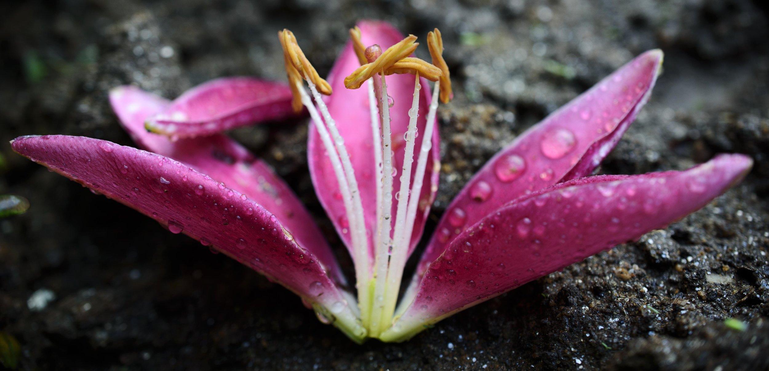 pinklilly.jpg