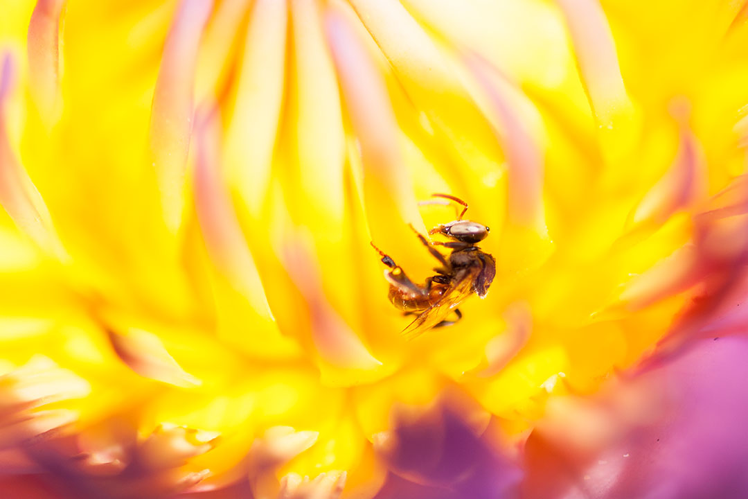 Meliponini bees