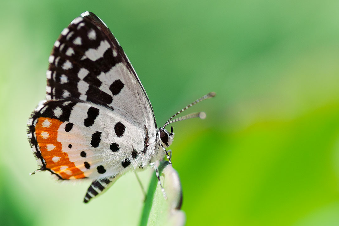 The Indian Red Pierrot