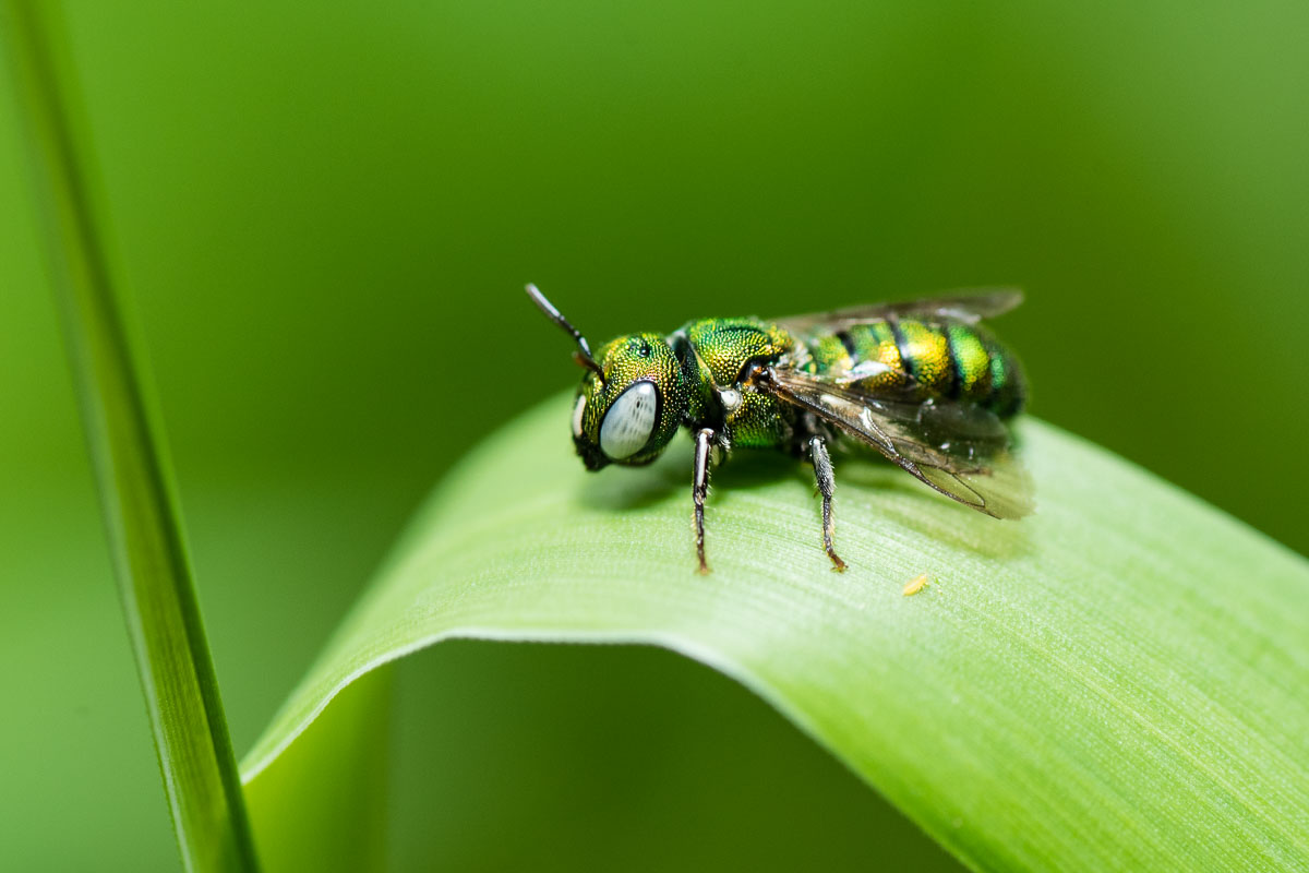 Iridescent colours can make the small carpenter bee look markedly different from different angles.