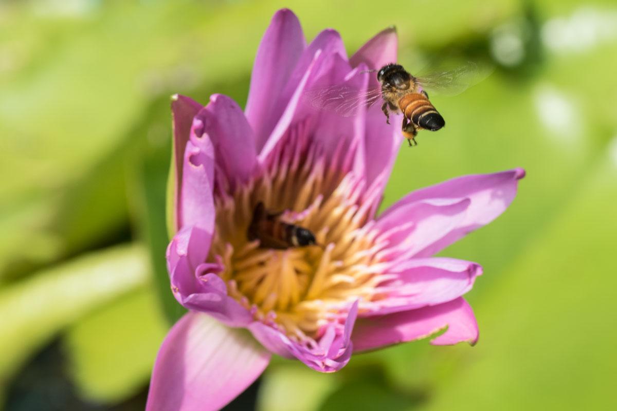 Apis dorsata, the giant honeybee