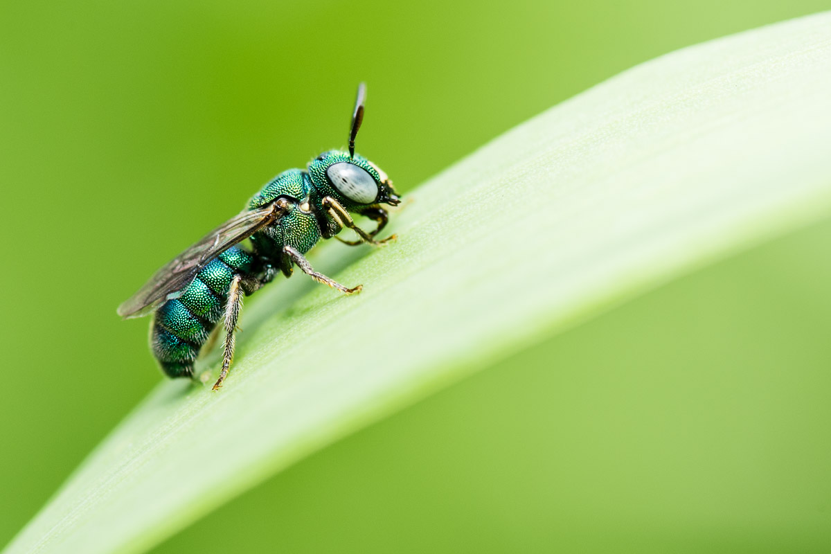Ceratina sp., small carpenter bee.