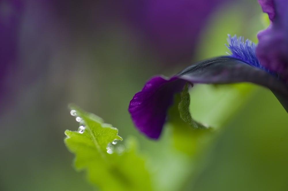 #4 Purple Iris