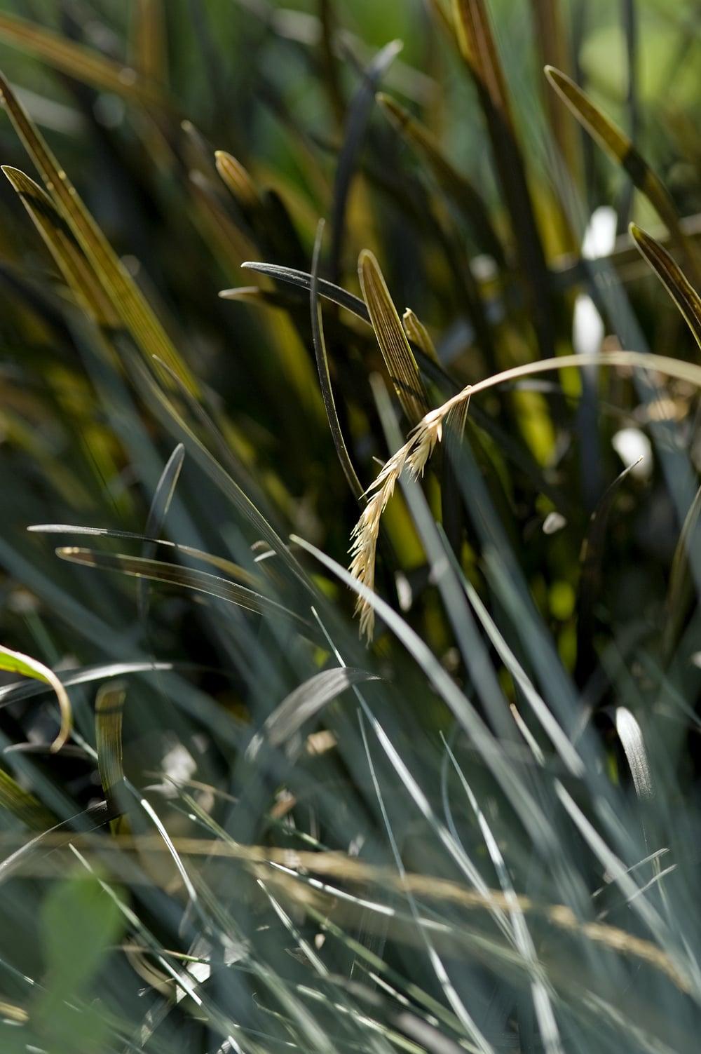#12 Black & blue grass