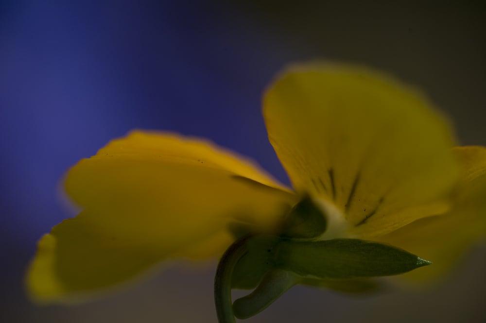 #42 Yellow Pansy