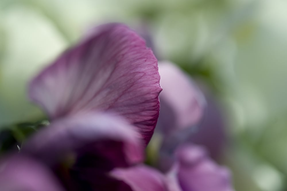#45 Pink Pansy