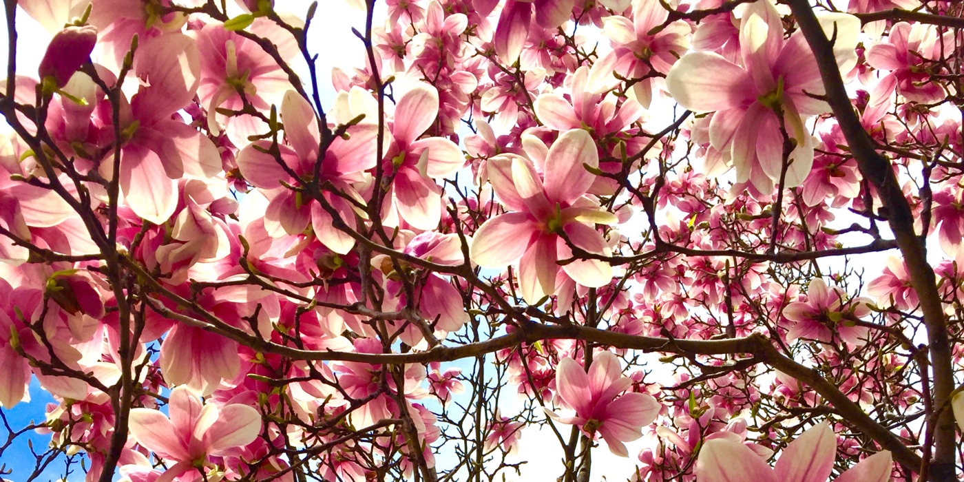 Magnolias existed before bees. This is a metaphor, somehow.