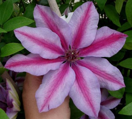 Clematis-Candy Stripe.jpg