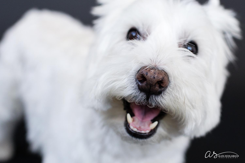 Smiling white dog