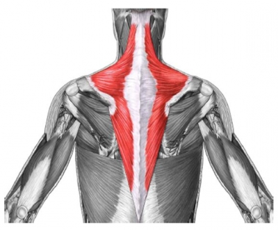 The trapezius muscle