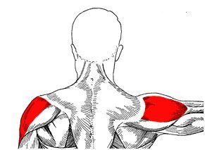 The deltoids are muscles that lift our arms. Source: musclebuildingprogram.org