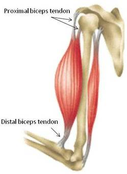 The biceps connect to the bones through tendons.