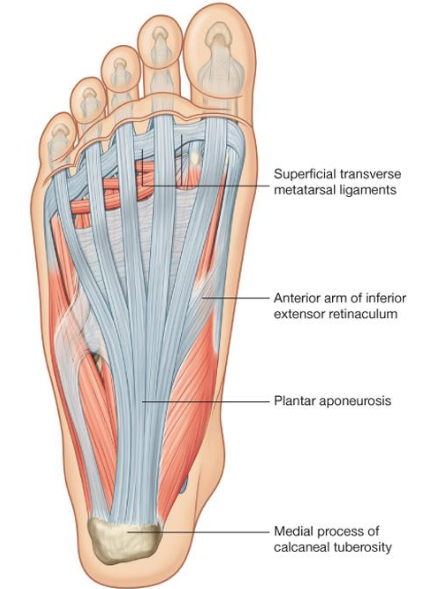 Plantar aponeurosis. Source: Drake, Gray's Anatomy for Students, 2nd Edition