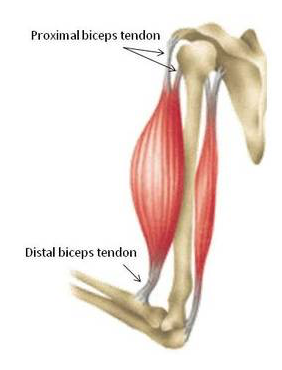 The bicep connects to our bones through bicep tendons