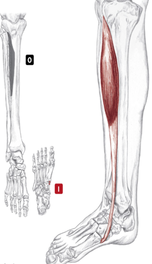When we lift/ flex our foot, we are using not only our feet muscles but also those connected to our calves. One of them is the tibialis anterior muscle, which originates on the upper front of our calf bone, the tibia.  Diagram: Studyblue.com