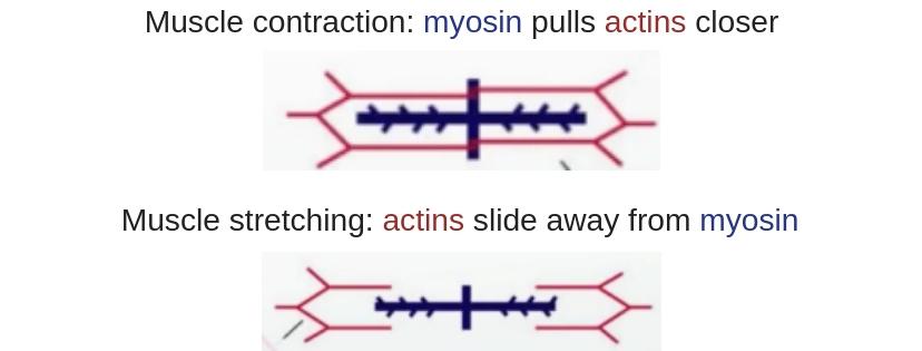 Muscle contraction_ myosin pulls actins closer-2.jpg