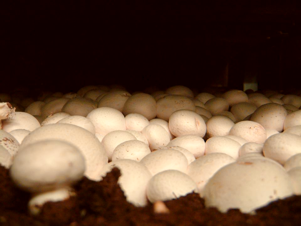 Mushrooms Growing