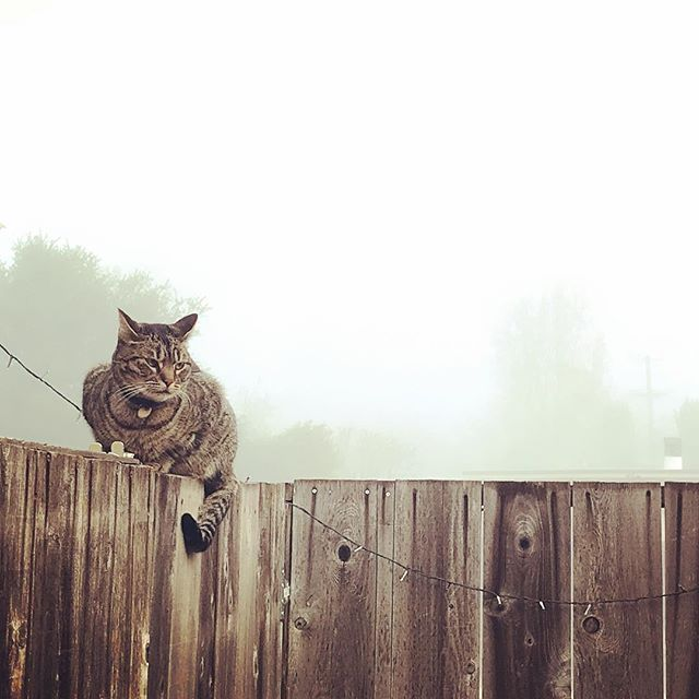Morning fog with Mackerel on the fence 🐱🐈😻#cat #fog #fence