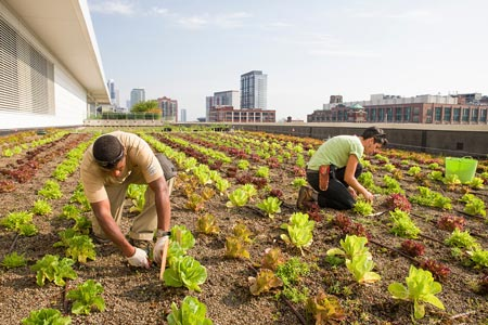 Farm Tours - SAVOR...Chicago will provide tours of the McCormick roof-top garden farm. 2019 Tours Dates: Thursday June 27th; Thursday July 18th or Thursday August 29th. Please check in at the market info tent at 4:30pm. The tour will leave from the market at 5:00pm and walk a short distance to McCormick. Kid friendly. Walkups are Welcome!