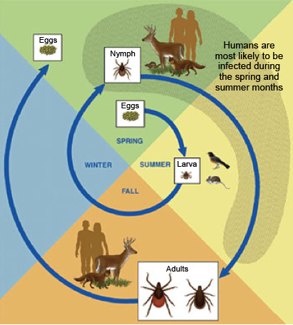 Figure 2:    The life cycle of a Deer Tick (Centers for Disease Control and Prevention, 2015)
