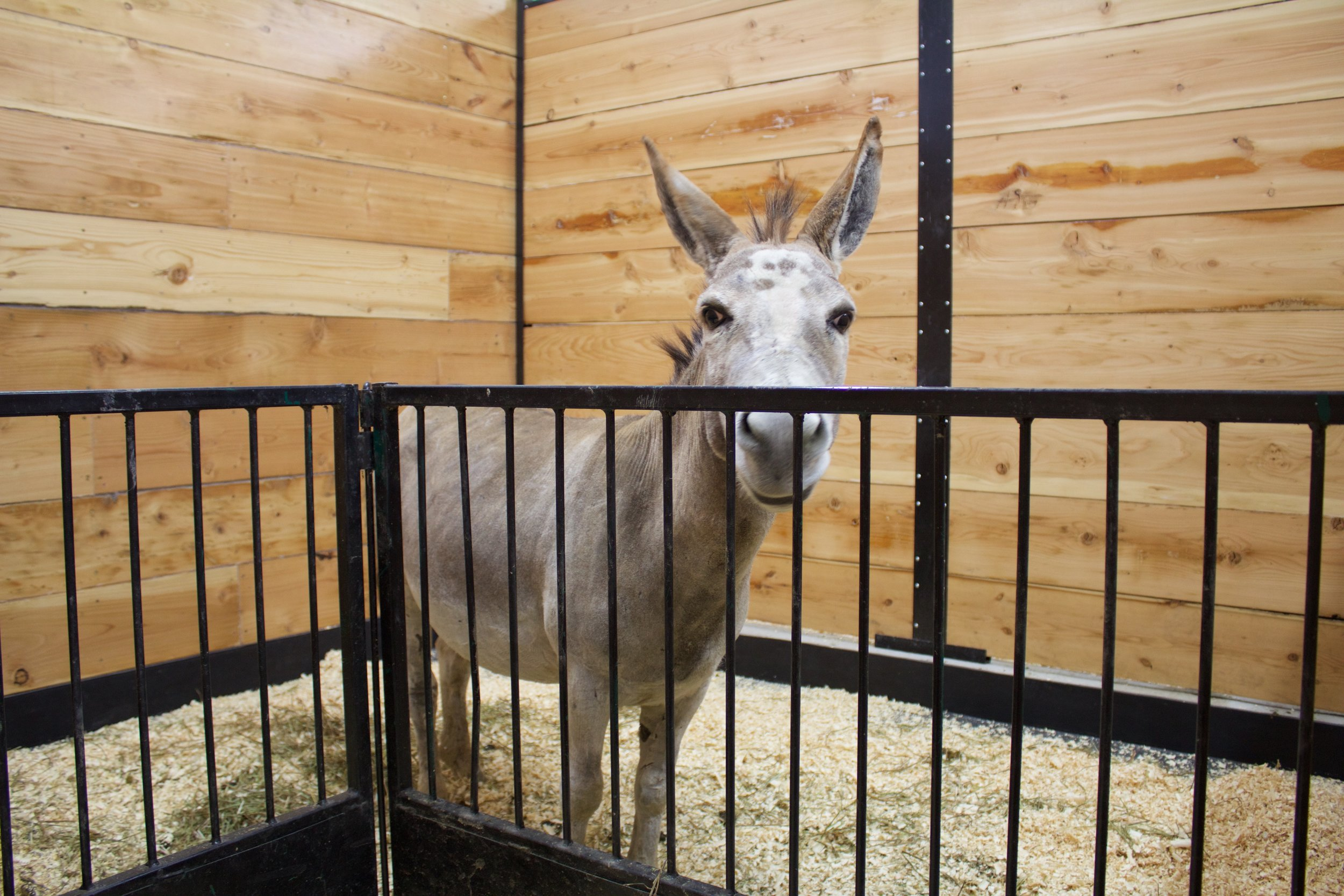 Fred the Miniature Donkey at the Petting Zoo