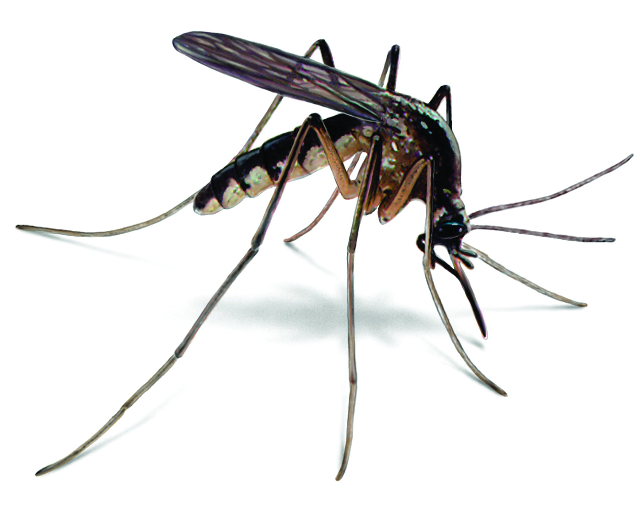 mosquito-illustration_2092x1660.jpg