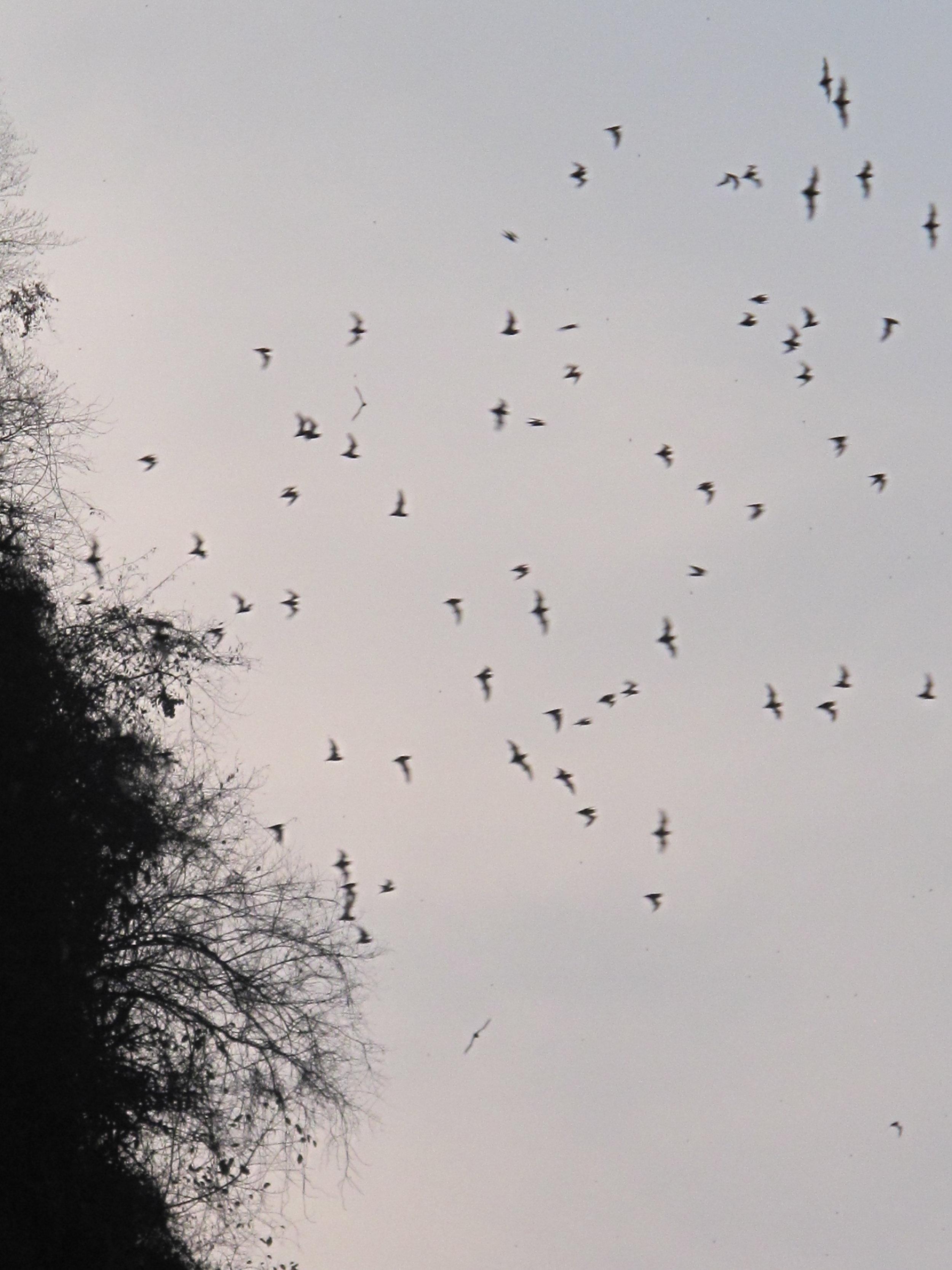 Bats flying out of a cave at Mt Sampeou, Battambang