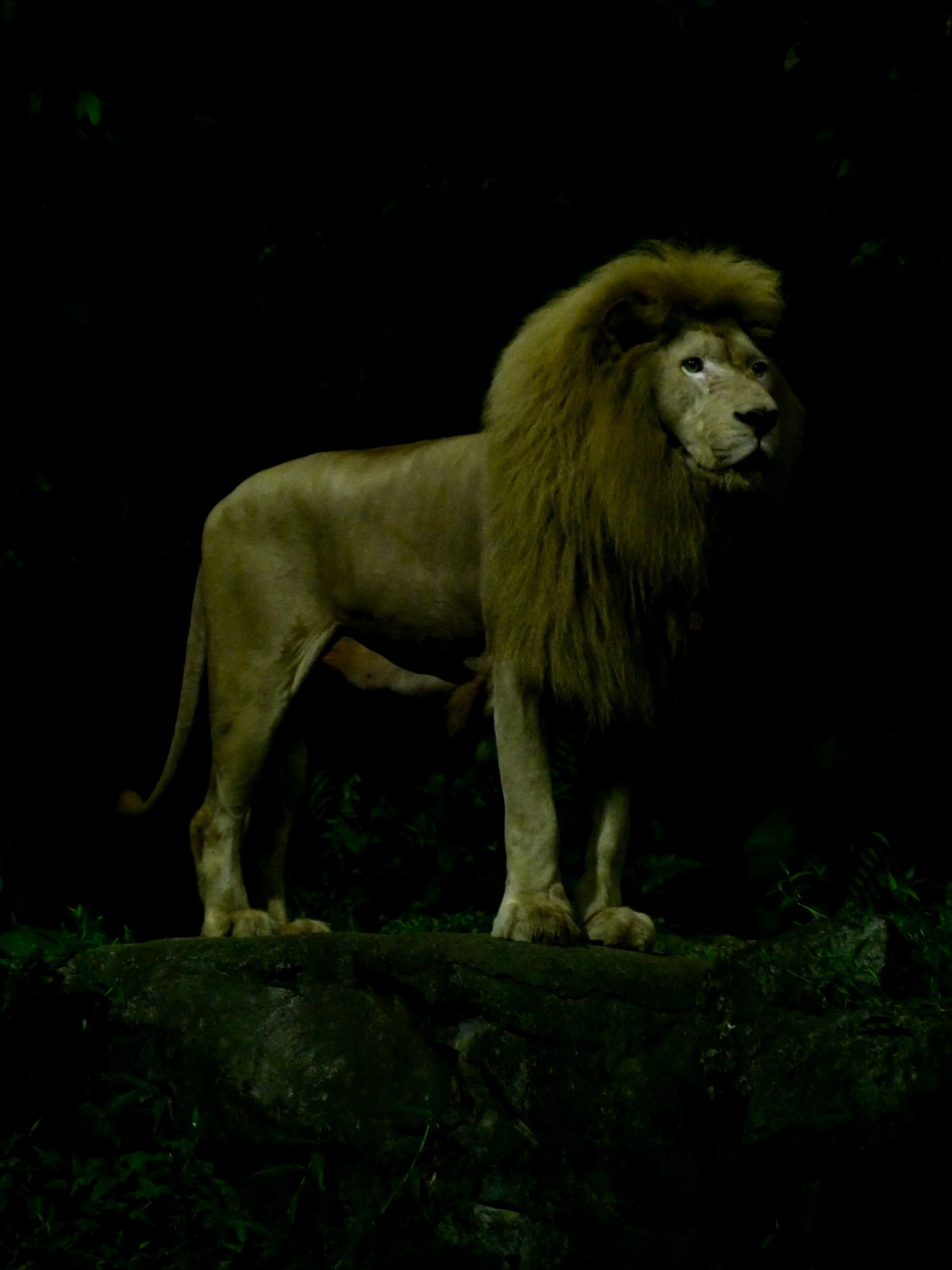 Lion, Singapore Night Zoo