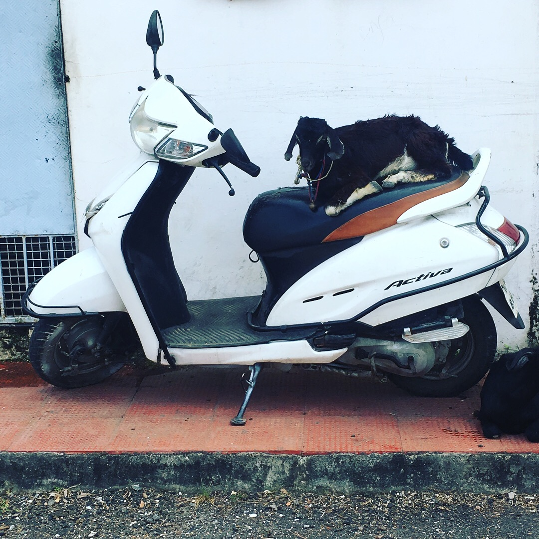 Just a goat on a scooter