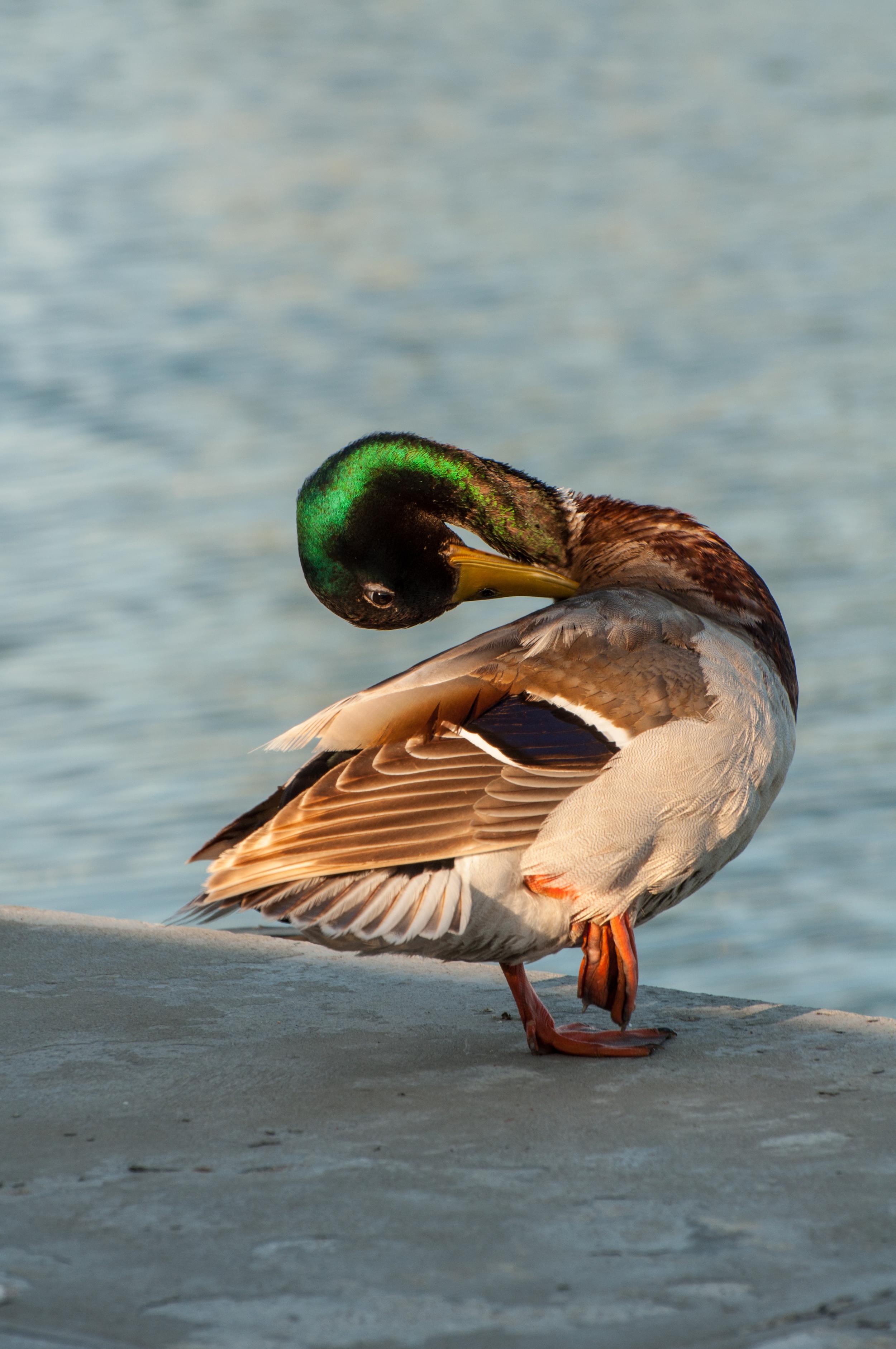 Duck taking bath - 140609 - DSC_1372.JPG
