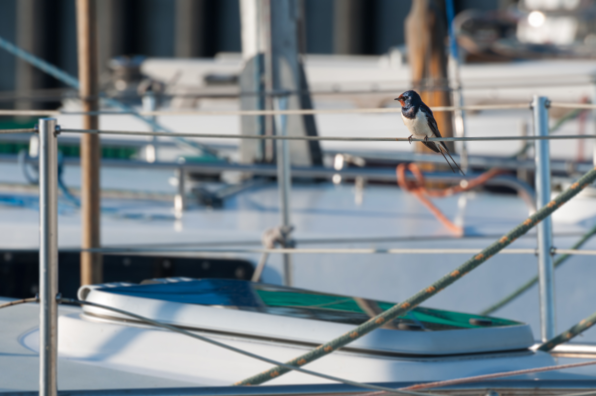 Swallow bird - 140609 - DSC_1402.JPG